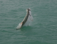 tarpon-fishing-105
