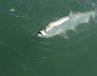tarpon-fishing-113