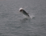 tarpon-fishing-121
