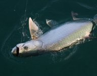 tarpon-fishing-133