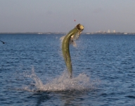 tarpon-fishing-156