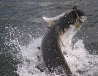 tarpon-fishing-167