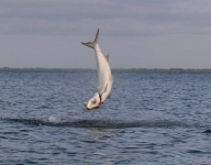 tarpon-fishing-174