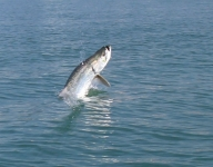 tarpon-fishing-176