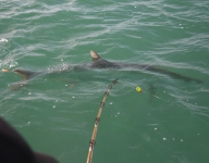 tarpon-fishing-224