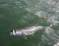 tarpon-fishing-229