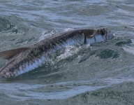 tarpon-fishing-230