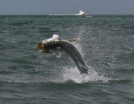 tarpon-fishing-233