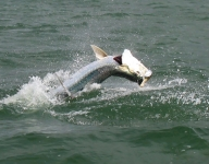 tarpon-fishing-234