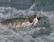 tarpon-fishing-238