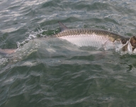 tarpon-fishing-239