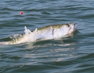 tarpon-fishing-244