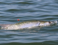tarpon-fishing-245