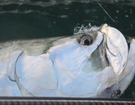 tarpon-fishing-249