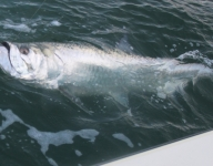tarpon-fishing-250