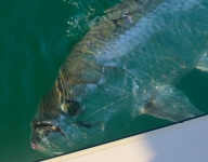 tarpon-fishing-265