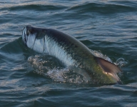 tarpon-fishing-275