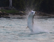 tarpon-fishing-277