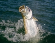 tarpon-fishing-28