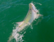 tarpon-fishing-288