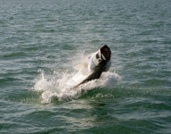 tarpon-fishing-29