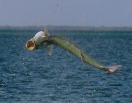 tarpon-fishing-305
