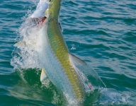 tarpon-fishing-32