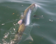 tarpon-fishing-323