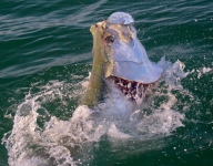 tarpon-fishing-327