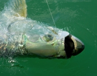 tarpon-fishing-33