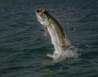 tarpon-fishing-342