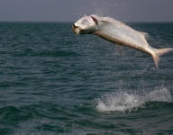 tarpon-fishing-345