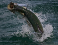 tarpon-fishing-346
