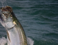tarpon-fishing-349