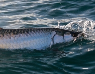 tarpon-fishing-381