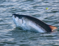 tarpon-fishing-387