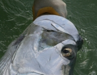 tarpon-fishing-43