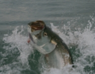 tarpon-fishing-47