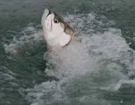tarpon-fishing-48