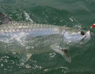 tarpon-fishing-50