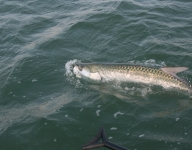 tarpon-fishing-57