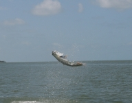 tarpon-fishing-59