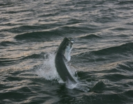 tarpon-fishing-61