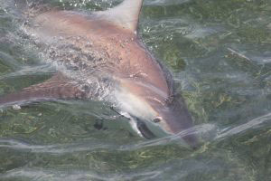 Black tip shark fishing Miami