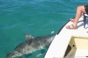 Bull shark fishing Miami