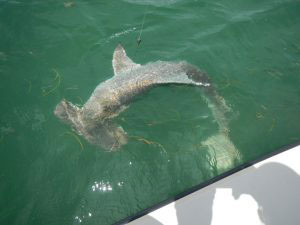 Hammerhead shark fishing Miami